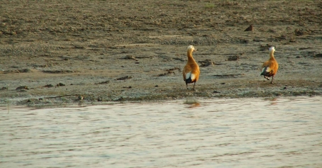 Ruddy shelducks