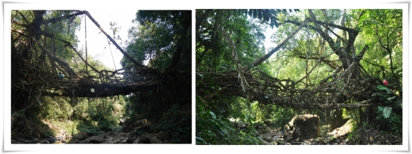 Living Root Bridge at Padu